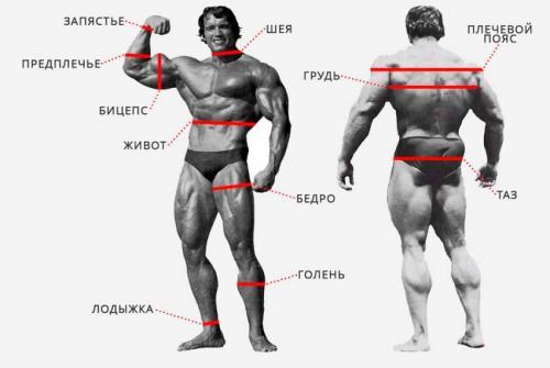 Калькулятор пропорции тела мужчины. Калькуляторы идеальных пропорций тела в Бодибилдинге